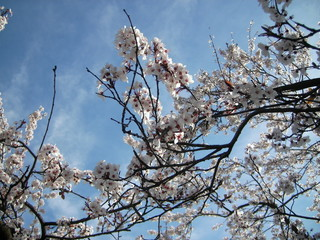 blossoms and sky 2