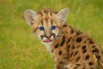 baby leopard- blue eyes