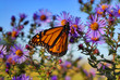 roleta: monarch butterfly