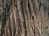 bark of huge tree poster