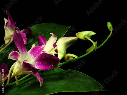 night orchids 1