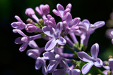 bush of lilac in early spring poster