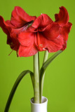 red flowers amaryllis