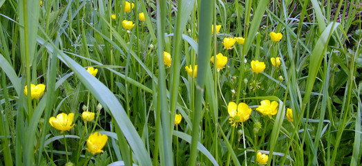 buttercups in meadow