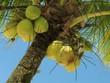 coconut tree - 2