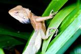 tropical rainforest monitor lizard poster