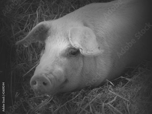 pig lying