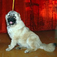 caucasian dog 01