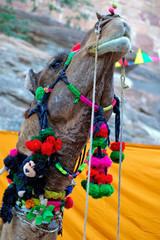 india, jodhpur: camel