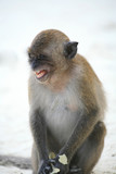 macaque monkey in a bad mood poster
