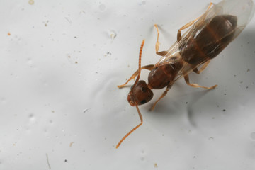 closeup of winged ant