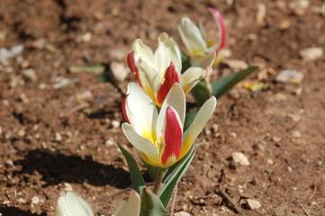 the 3 tulip