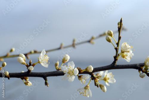 hawthorn spring flowers #5