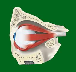 sezione occhio