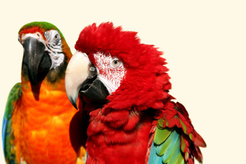 macaw couple 2