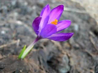 a purple crocus