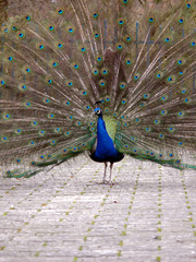 beauty peacock