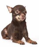 russian toy-terrier poster