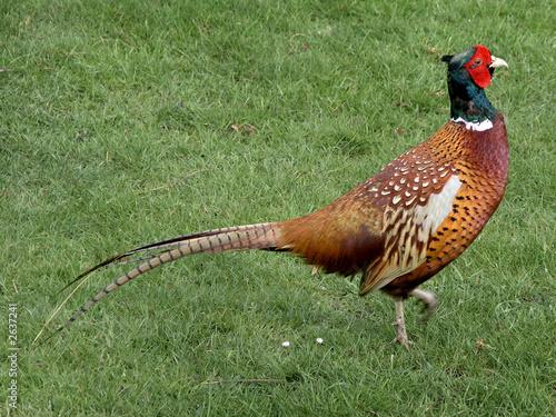 poster of pleasant pheasant