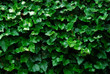 horizontal ivy background
