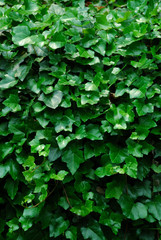vertical ivy background