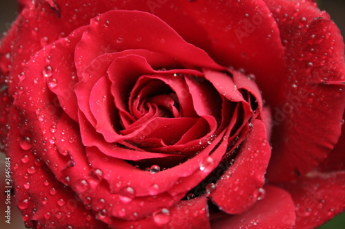 Leinwanddruck Bild red rose