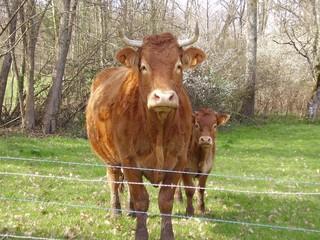 la vache avec son petit veau