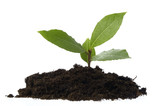 baby plant in soil. bay leaves poster