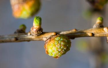 young cones