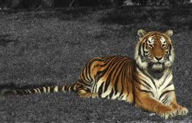 b&w tiger stock