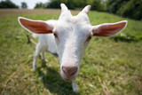 white goat, focus on his nose poster
