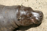 an hippo enjoying the sunshine poster
