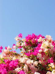 white and rose flowers on background blue sky