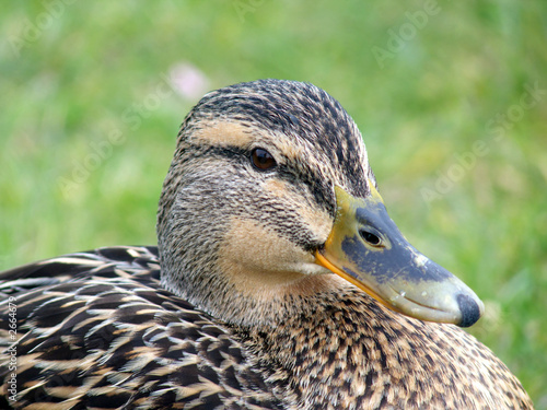mallard duck closeup