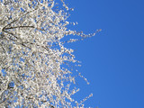 white blossoming cherry tree, cropped on left poster