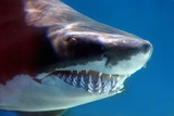Fototapety shark with mouthful of teeth