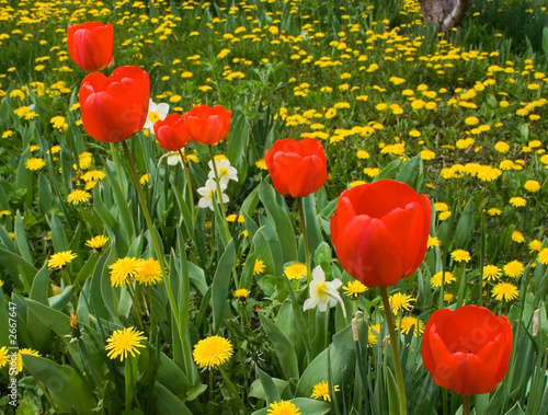 red tulips in a raw