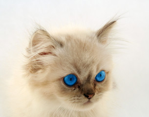cute kitten with bright blue eyes looking soft and