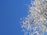 white blossoming cherry tree, cropped on right poster