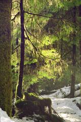 winter forest lichen