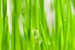 Leinwanddruck Bild fresh grass with dew drops