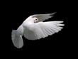 Leinwanddruck Bild white dove in flight 10