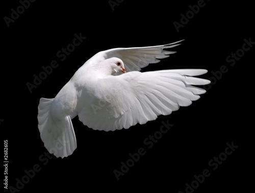 Leinwandbild Motiv white dove in flight 10