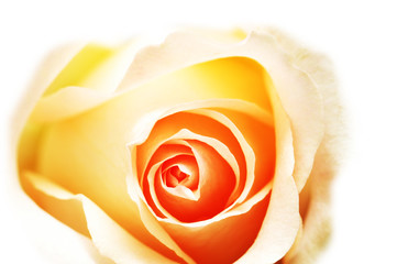pink rose isolated on the white background