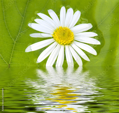 camomile and pond