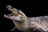 crocodile sur fond noir poster