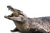 crocodile sur fond blanc poster