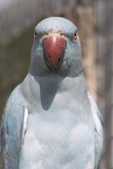 blue ringed parakeet