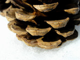 pine cone structure. poster
