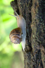 grape snail creeping along tree on background of g